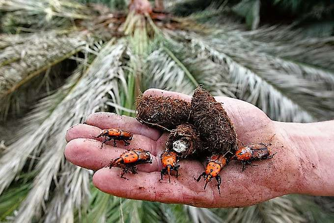 The red palm weevil κόκκινο σκαθάρι φοίνικα