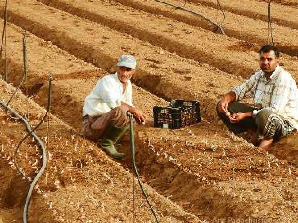 Φυτεύοντας κρεμμυδάκια