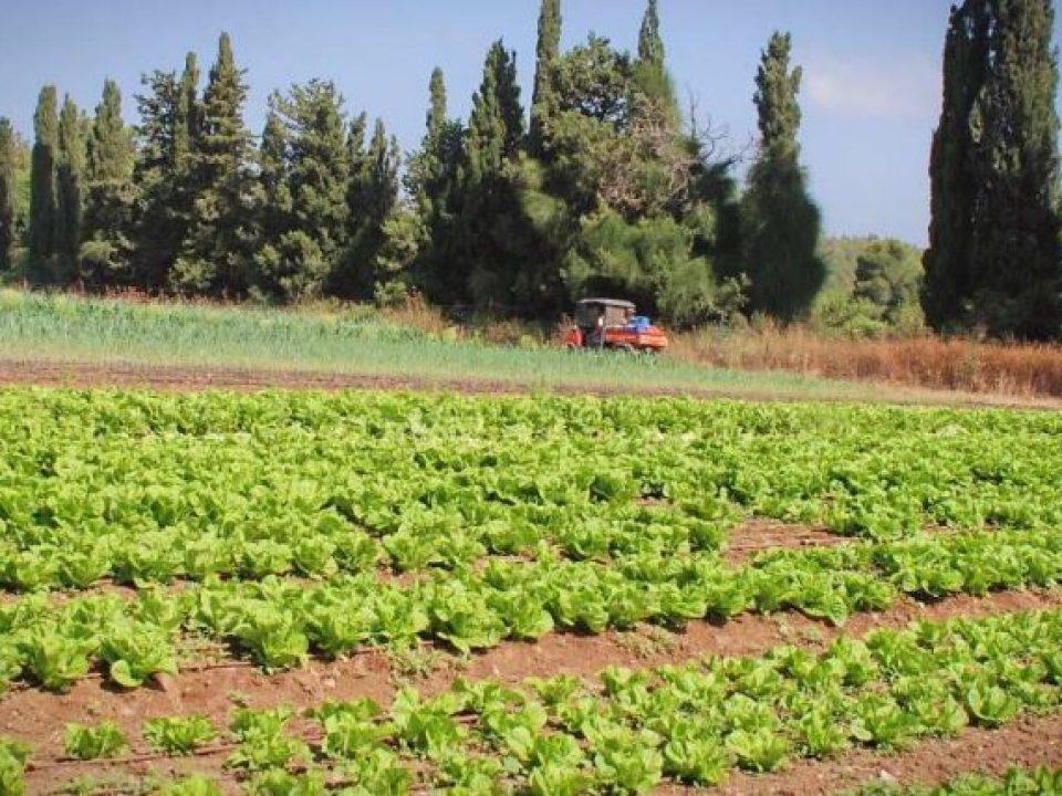 Αγρός με μαρούλια Malal Ισραήλ
